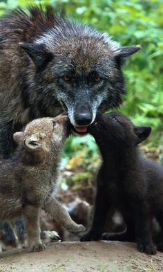 480x800 Wallpaper wolf, family, babies, care, color