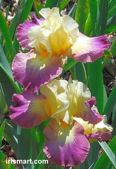 Lightshine  Bearded Iris  Hybridized by Schreiner; Year of Registration or Introduction: 2000.    Height: 24-36 in. (60-90 cm) 36-48 in. (90...