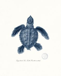 Coastal Decor Loggerhead Sea Turtle No. 2, Endangered Species Natural History Art Print 8x10 dark blue