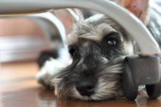 Miniature Schnauzer - our next family member (to become Bella's brother) Mini Schnauzer Puppies, Miniature Schnauzer, Schnauzers, I Love Dogs, Puppy Love, Cute Dogs, Small Dog Breeds, Small Breed, Funny Animals