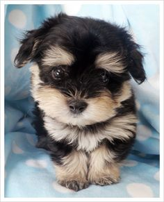 Black Havanese  - is this a cutie or what? (looks exactly like our puppy Roli! Except ours is a poodle / chihuahua dachshund mix)