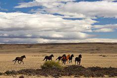 Gaucho horses in Neuquen  Patagonia, Argentina