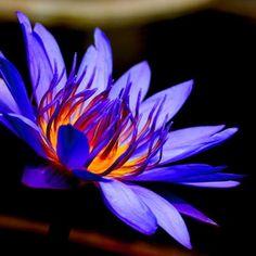lotus my second favorite flower
