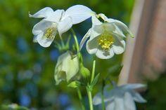 Garden, White Blossom, Garden, Early Summer #garden, #whiteblossom, #garden, #earlysummer