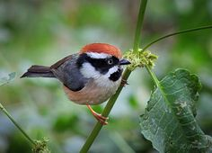 Black-throated Bushtit (Aegithalos concinnus).  Found in the Himalayas - India, Nepal, Burma, and Vietnam - in open broadleaf as well as pine forests.