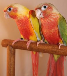 Red-Faced Suncheek (left) and Red-Faced Pineapple (right) Green Cheek Conures Cute Birds, Small Birds, Pretty Birds, Beautiful Birds, Colorful Parrots, Colorful Birds, Feather Tree, Bird Feathers, Exotic Birds