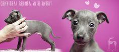 italian greyhound puppy #italiangreyhound #italiansighthound #iggylove #charcikwloski #chart #doglover #dog #hodowla #pies #puppy
