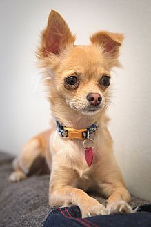 Fountain Valley, CA - Chihuahua/Papillon Mix. Meet Jules a Dog for Adoption.