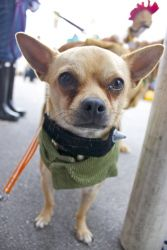 Bugger is an adoptable French Bulldog Dog in Chicago, IL. Meet Bugger! Bugger is a super cute, 10 pound frenchie/chihuahua mix boy who is about a year old, great with dogs and people, probably best wi...