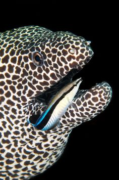 Wrasse (blue stripe) and Moray Eel