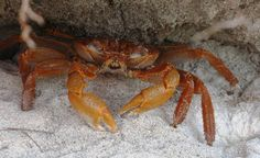 """Orange land-crab on North Island. Similar to hermit crabs, they occupy larger abandoned seashells as well as coconut shells. Always amusing to see their """"shells"""" scuttling around the forest! Hermit Crabs, Seashells, Wilderness, Abandoned, Safari, Larger, Wildlife, Africa, Coconut"""