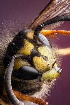 Common Wasp by Richard Iles, via 500px