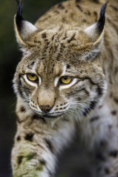 Lynx,such beautiful cats! Big Cats, Cool Cats, Cats And Kittens, Nature Animals, Animals And Pets, Cute Animals, Wild Animals, Baby Animals, Strange Animals