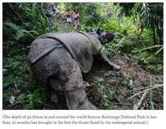 Poached rhino succumbs to injuries in Kaziranga    A rhino, whose horn was sawed away by poachers in Kaziranga National Park about a week ago, succumbed to its injuries today.    http://www.firstpost.com/india/poached-rhino-succumbs-to-injuries-in-kaziranga-497467.html