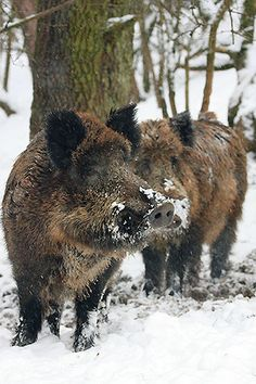 Pig boars in the snow Wild Boar, Brown Bear, Animals And Pets, Woods, Magic, Snow, Seasons, Winter, Hunting
