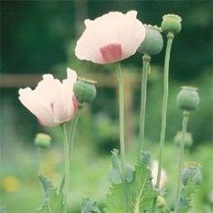Schließmohn, essbare Samen (weiße Sorte auch da)