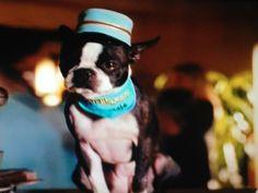 83 Best Bt Stars Images In 2019 Boston Terriers Boston
