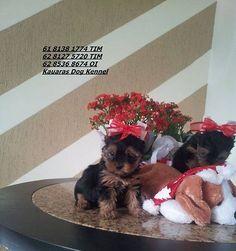 Kauaras Kennel anuncia novos Yorkshire Terrier Pequenos bibelôs... - http://anunciosembrasilia.com.br/classificados-em-brasilia/2014/10/24/kauaras-kennel-anuncia-novos-yorkshire-terrier-pequenos-bibelos/