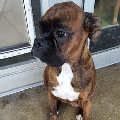 Boomer the boxer! #dogoftheday #doggydaydream #doggydaycare #dog #dogs #dogstagram #dogsofinstagram #instadog #boxer