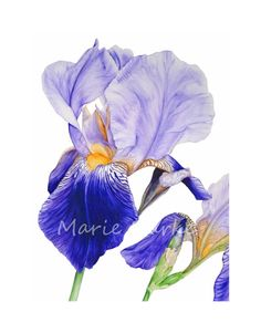 Purple Iris  fine art botanical by Marie Burke