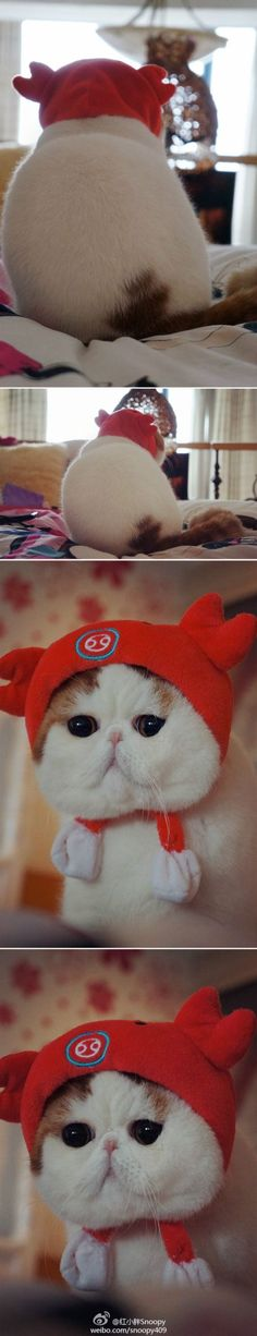 """Look who's here again. """"Snoopy"""" to give us a look at what's trending in feline fashion today. Snoopy, an Exotic Shorthair cat has donned a red hoodie that shows off Snoopy's  radiant red fur. Yes, tweens and teens watch what Snoopy wears on the runway and the next day they have one just like it courtesy of Mom and Dad. Meow!"""