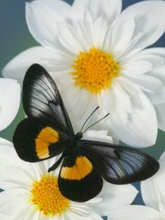 Miyana Meyeri Butterfly on Flowers