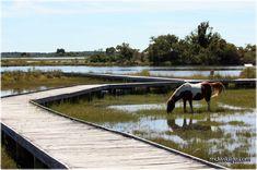 assateague island - marsh trail