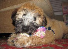 Max the Wheaten Terrier