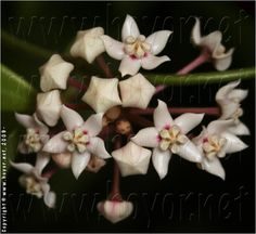 Hoya pubescens; looks like a miniature Hoya australis. Fragrant flowers.