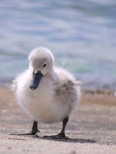 Baby Swan by *Grandmagoingnuts on deviantART