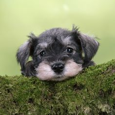 miniature schnauzer puppies poster wall   Miniature Schnauzer Puppy (6 Weeks Old) on a Mossy Log Photographic ...