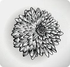 Fleur de chrysanth�me dessin�s � la main. Vector illustration photo