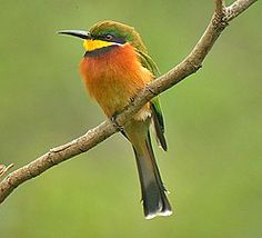 The colourful Cinnamon-chested Bee-eater (Pete Morris)