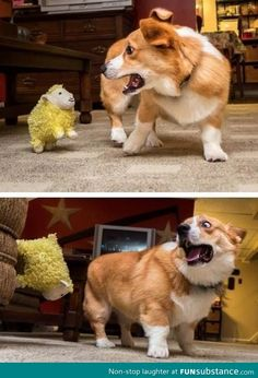 Everyone knows corgis hate sheep
