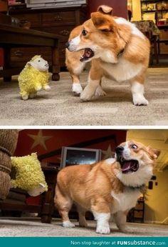 Everyone knows corgis hate sheep