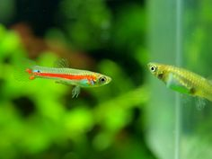 They may be found in any store that sells fish and come in a selection of shapes and colors. In terms of the categories, there are guppies, retained for displaying their exquisite colours, and feeder guppies like cichlids, Piranhas, and others.  Guppy Species According to the Encyclopedia Brittanica, guppies are a part of the Poeciliidae family. In this family, you'll find:  Poecilia reticulata – This is actually the frequent guppy, and that title is widely recognized as the correct name for…