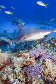 Carcharhinus perezi, Caribbean reef sharks