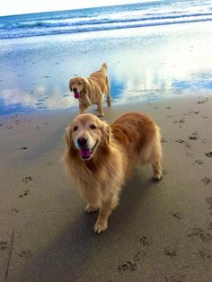 "Goldens ~ FUR ON THE FRONT LEGS IS CALLED ""FEATHERS"", VERY PRETTY~"