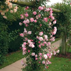 Mortimer Sackler Climbing rose. Recommended by Adam Frost. Airy and graceful with an informal feel. Soft pink, open-cupped flowers and a fruity fragrance. Almost thornless and repeat flowers