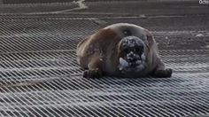 A seal plops down in the middle of a runway to catch some rays -- halting air traffic at Barrow, Alaska's airport.