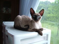 Our cat. She is a Cornish Rex!