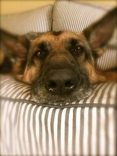 German Shepherd after a hard day's work....or maybe he's just bored with the swamp people movie he's watching?