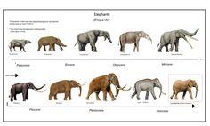 Evolution of Elephants Prehistoric World, Prehistoric Creatures, Elephant Images, Evolutionary Biology, Fossil Hunting, Medieval World, Dinosaur Art, Wildlife Conservation, Prehistory