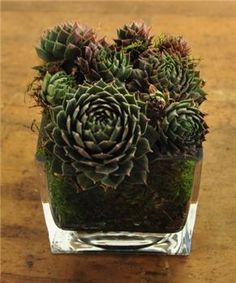 Stand live moss against the sides of a clear dish and fill with dirt and a simple sempervivum on top.