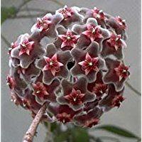 Hoya carnosa grey-purple - Porzellanblume