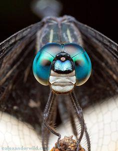 Grumpy dragonfly is grumpy. (Alex Wild)