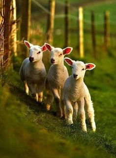 Raising sheep can be a lot of fun. Sheep are friendly creatures by Cute Baby Animals, Farm Animals, Beautiful Creatures, Animals Beautiful, Spring Lambs, Sheep And Lamb, Baby Sheep, Tier Fotos, All Gods Creatures
