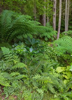 Vashon Island, WA: Fronds of the tree fern (Dicksonia antarctica) provides a shady understory for woodland plants such as sword ferns, rhododendrons, and hostas in the Stumpery Garden