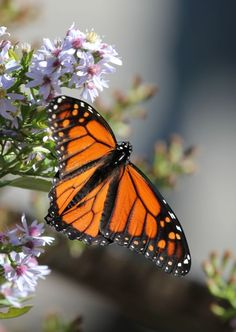 Monarch Butterfly on Wild Asters Lindbergh, Monarch Butterfly, National Geographic Photos, Your Shot, Amazing Photography