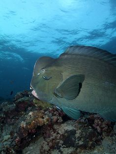 Bumphead parrot fish by Melvin Lee
